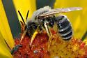 Bee sleeping on Gaillardia aristata - Andrena