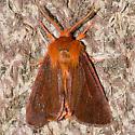 Brown Tiger Moth - Spilosoma pteridis