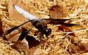 Common whitetail dragonfly - Plathemis lydia - male