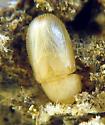 Minute Tree Fungus Beetle imago - Cis