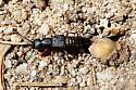 Rove Beetle - Dinothenarus