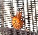 What is it? - Araneus marmoreus