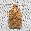Four-dotted Agonopterix - Hodges#882 - Agonopterix robiniella