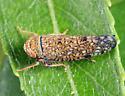 leafhopper on willow - Orientus ishidae