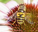 unkown syrphid fly - bee fly? - Eristalis transversa - female