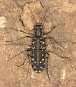 Western Red-Bellied Tiger Beetle - Cicindelidia sedecimpunctata - male - female