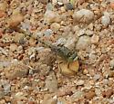 Dragonfly - Arigomphus submedianus - male