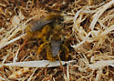 Bees on Ground (Near wedge-shaped beetles) - Diadasia