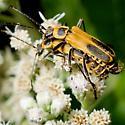 Species Chauliognathus pennsylvanicus - Goldenrod Soldier Beetle - Chauliognathus pensylvanicus - male - female