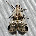 Moth 06.23.2009 034 - Tallula atrifascialis