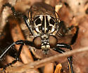 robber fly - Cyrtopogon - female