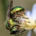 Augochlora pura? - female
