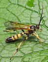 Hymenoptere. Ichneumonidae - male