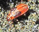 Unknown Bug - Lygaeus