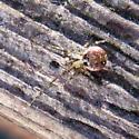Araneae 2009 02a - Platnickina tincta
