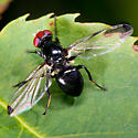 Black Fly With Red Eyes