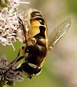 Which Syrphid please - Eristalis arbustorum