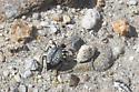 Spider beetle - Cysteodemus armatus