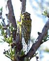 Okanagana nigriviridis - male