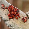 Milkweed buglets - Oncopeltus fasciatus