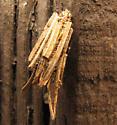 Bag worm - Psyche casta