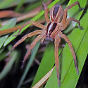 Dotted Wolf Spider - Rabidosa punctulata - female