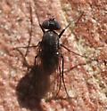 Dolichopodidae - Medetera