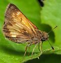 Lepidoptera. Hesperidae. Poanes hobomok? - Poanes hobomok