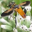 Trichopoda? - Trichopoda pennipes - male