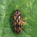 Mycetophagidae? - Prothalpia undata