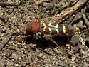 Agile beetle - Neoclytus acuminatus