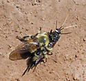 High Drama: Robber Fly takes wasp - Urocerus albicornis