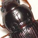 Ground beetle from Britsh Columbia 10.07.13 - Amara apricaria