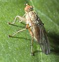 Scathophaga furcata ?