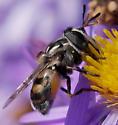 Unknown fly - Copestylum marginatum