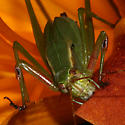 Fork-Tailed Bush Katydid Munches Day-lily - Scudderia furcata - male