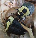 beetles - Necrophila americana