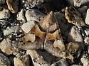 Drasteria pallescens
