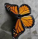Flightless Monarch - Danaus plexippus - male