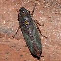 Leafhopper - Paraulacizes irrorata