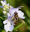 Syrphid Fly species - Eupeodes