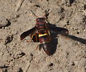 Who is this beautiful red and yellow wasp - Euodynerus crypticus