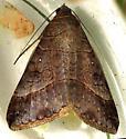 Striped Grass Looper moth Mocis latipes - Mocis latipes
