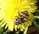 Bombyliidae sp. - Copestylum avidum