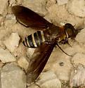 Is this a Exoprosopa fasciata ? - Exoprosopa fasciata