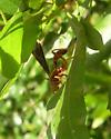 wasp - Labena grallator