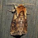 Bellura vulnifica, black-tailed diver, Hodges # 9523.1 - Bellura vulnifica