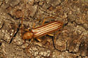 Malacopterus tenellus - female