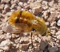 Bee Fly? - Lordotus