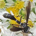 Fly - Physocephala tibialis